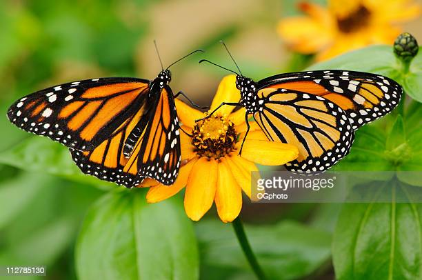 Pair of monarch butterflies