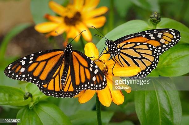 pair of monarch butterflies - monarch butterfly stock pictures, royalty-free photos & images
