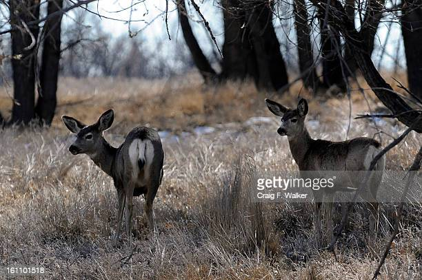 013009_ SALAZAR_CFW A pair of Mule Deer graze at Rocky Mountain Arsenal National Wildlife Refuge in Commerce City Secretary of the Interior Ken...