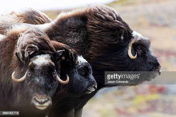 A pair of Musk Ox protect a calf by standing either side of it.