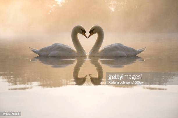 pair of mute swans on lake, central park, new york, usa - swan stock pictures, royalty-free photos & images