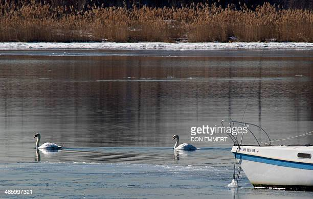 A pair of Mute Swans swim in the waters near City Island January 30 2014 in New York The New York State Department of Environmental Conservation has...