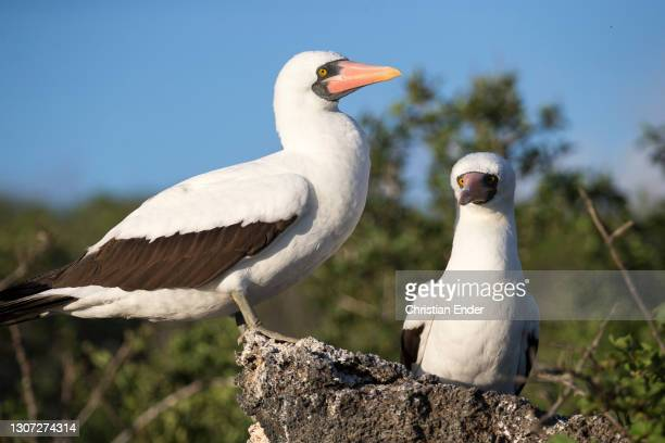 Pair of Nazca Boobies stand on a rock in Genovesa Island on February 21 in Galapagos, Ecuador. These are large seabirds of the booby family, Sulidae,...