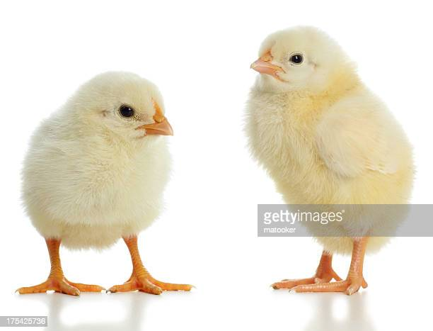 Pair of new born baby chicks