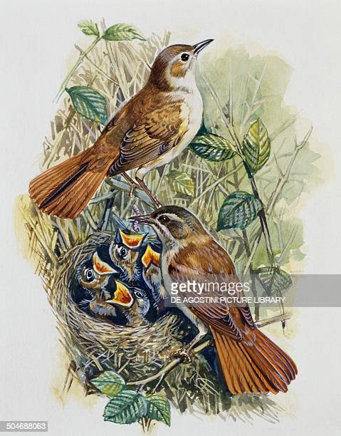 Pair of Nightingale Turdidae with chicks at nest drawing