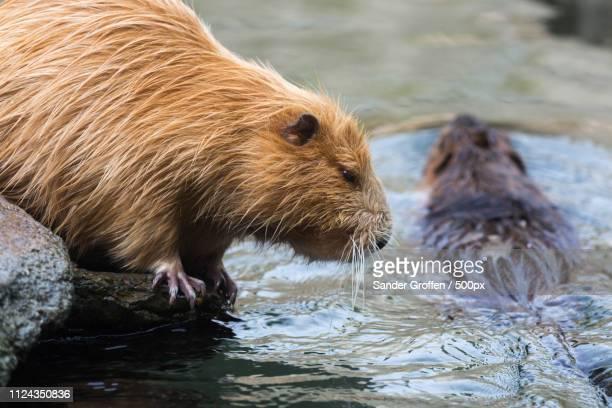pair of nutrias myocastor coypus beaver rats - nutria foto e immagini stock