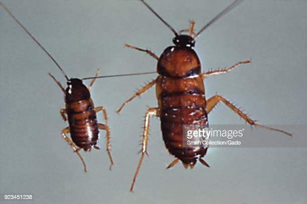 Pair of nymph cockroaches carriers of pathogens to food and numerous diseases 1972 Image courtesy Centers for Disease Control