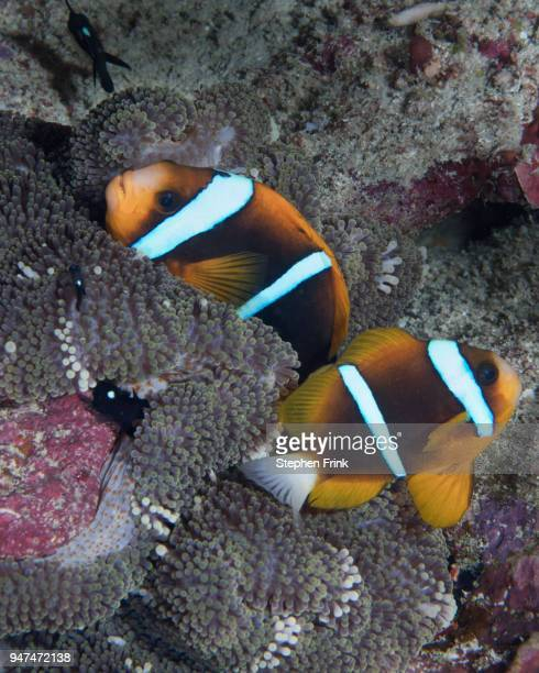 a pair of orange-fin anemonefish nestle within the tentacles of a merten's carpet anemone - orange fin clownfish stock photos and pictures