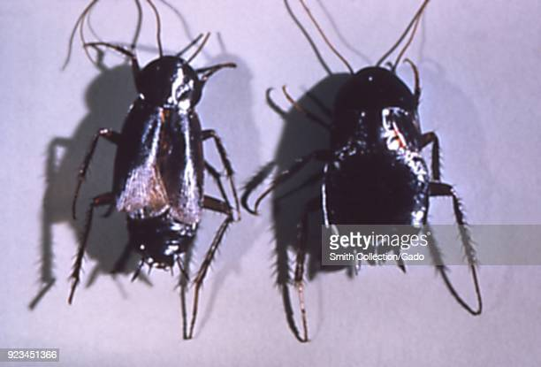 Pair of oriental cockroaches found in a migrant labor camp 1972 Image courtesy Centers for Disease Control