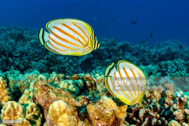 pair of ornate butterflyfishes chaetodon ornatissimus on coral reef, big island, hawaii - indo pacific ocean stock pictures, royalty-free photos & images