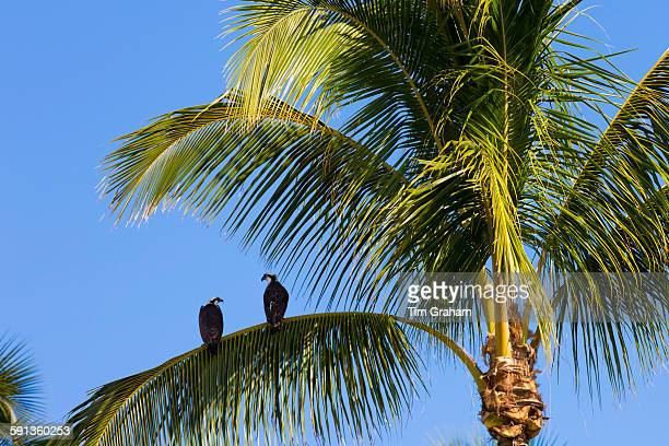 Pair of Osprey Pandion haliaetus on branch of palm tree Captiva Island in Florida USA