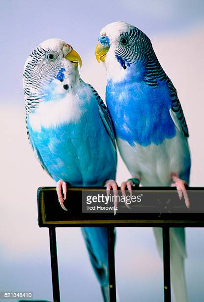 Pair of Parakeets Perching on Chair Back