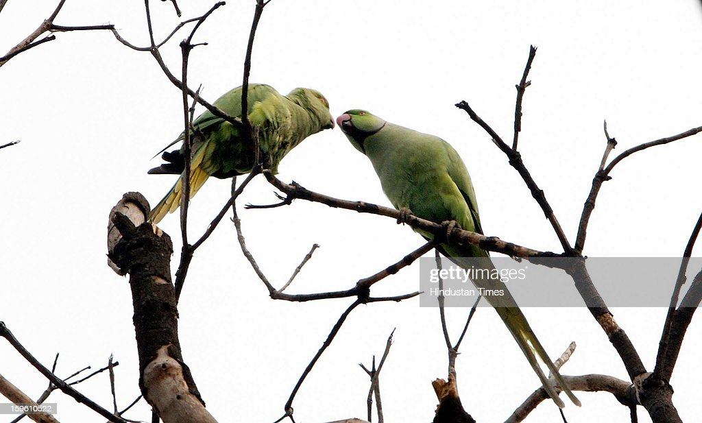 A pair of parrots on the top of a tree after sudden rain on January 17, 2013 in New Delhi, India. Capital witnessed light rain and chilly winds even though temperatures were above average.