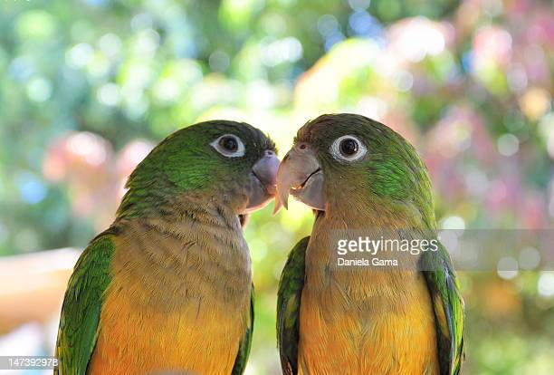 pair of parrots - pair stock pictures, royalty-free photos & images