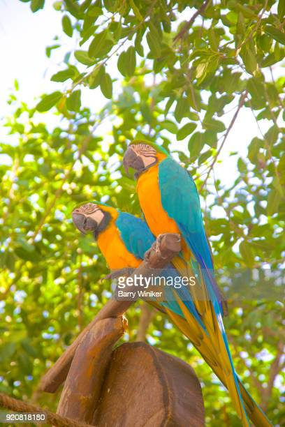 Pair of parrots seen from below resting in shade below tree in Mexico