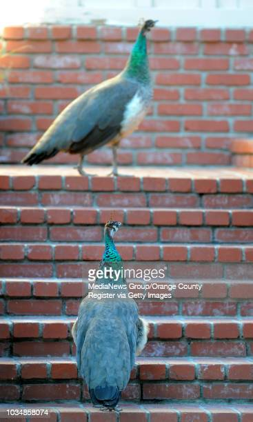 Scott Varley/LANG A pair of peahens wander around a south San Pedro neighborhood going from house to house looking for food