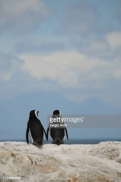 a pair of penguins at boulders beach - pair stock pictures, royalty-free photos & images