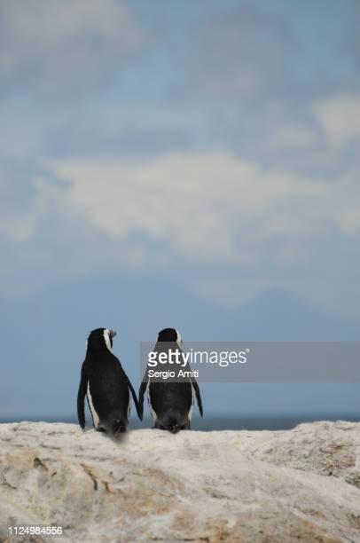 a pair of penguins at boulders beach - ペア ストックフォトと画像
