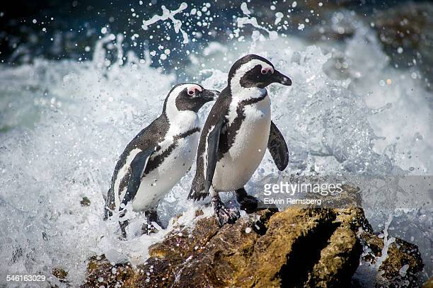 a pair of penguins caught in a wave - african penguin stock pictures, royalty-free photos & images