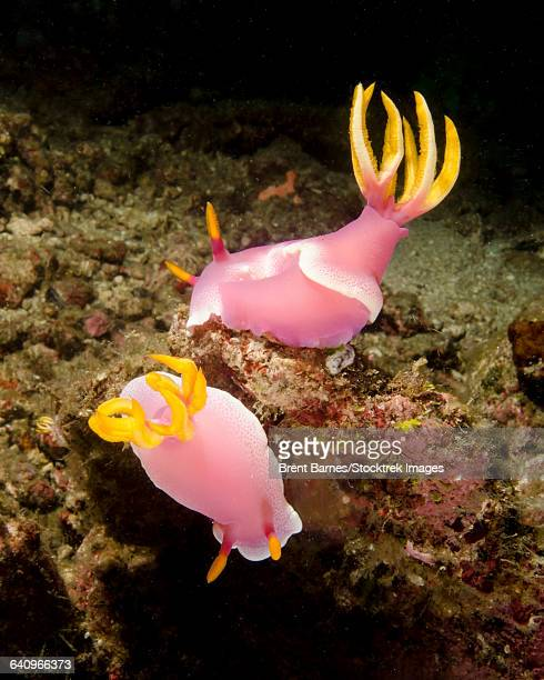 A pair of pink nudibranchs, Lembeh Strait, Indonesia.