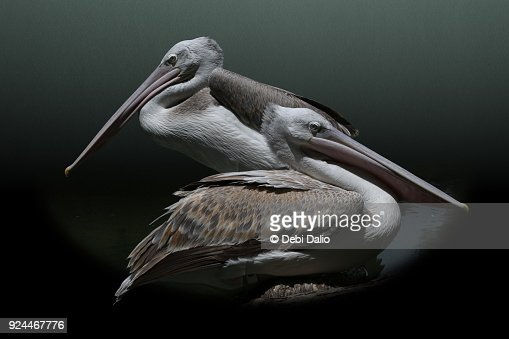 A pair of pink-backed pelicans