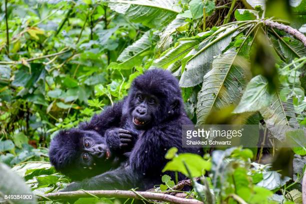 A Pair of Playful Baby Mountain Gorillas