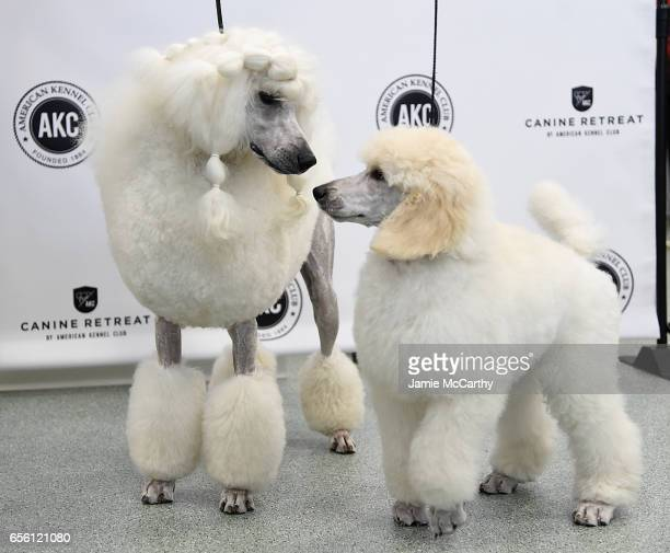 A pair of Poodles the 7th most popular breed of 2016 are shown at The American Kennel Club Reveals The Most Popular Dog Breeds Of 2016 at AKC Canine...