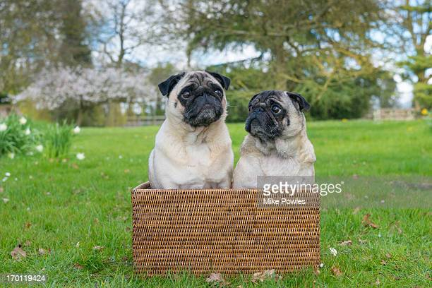Pair of pug dogs in a basket, norfolk