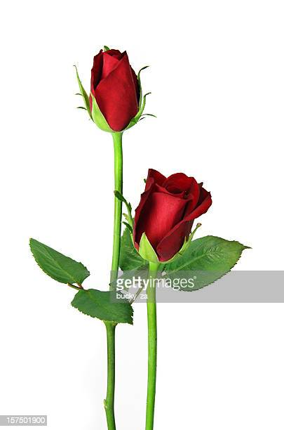 Pair of red roses isolated on white, upright close