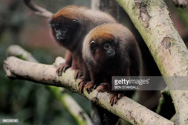 Pair of Red Titi monkeys experience their new home in the living rainforest enclosure at ZSL London Zoo, in London, on March 25, 2010. 'Rainforest...