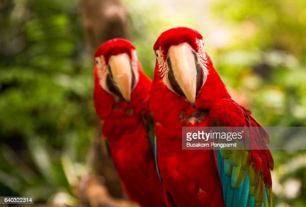 A pair of red-and-blue macaws (ara ararauna) perched in the jungle