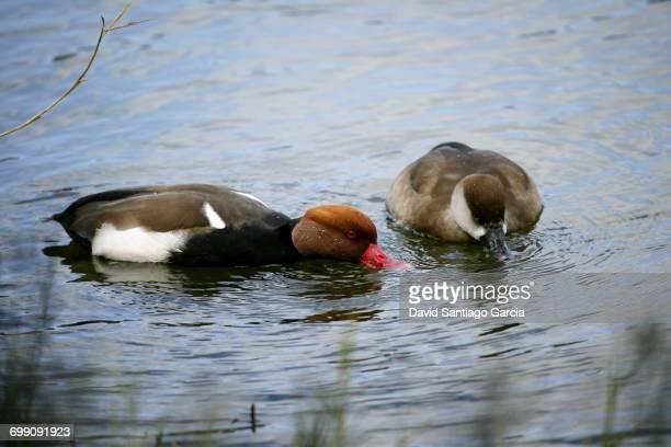 Pair of Red-crested Pochards (Netta rufina) swimming in Daimiel National Park. Ciudad Real. Castilla la Mancha. Spain
