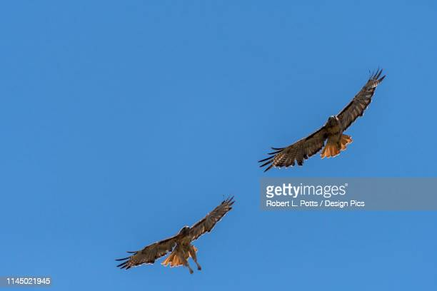a pair of red-tailed hawks (buteo jamaicensis) fly above in a blue sky - red tailed hawk stock photos and pictures