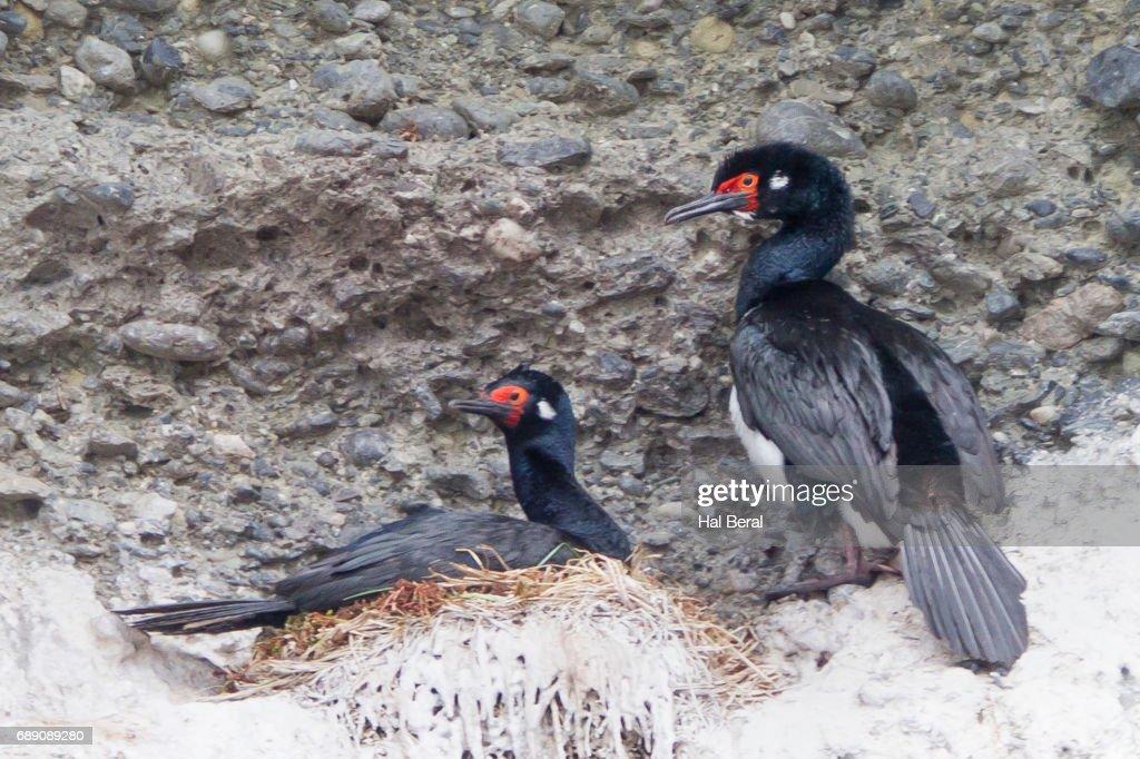 Pair of Rock Cormorants also called Rock Shags : Stock Photo
