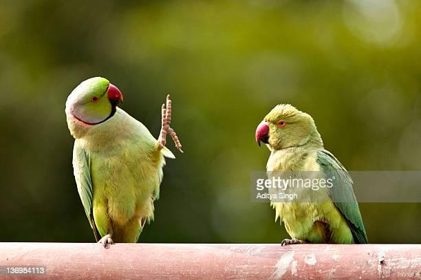 pair of rose ringed parakeets - ワカケホンセイインコ ストックフォトと画像