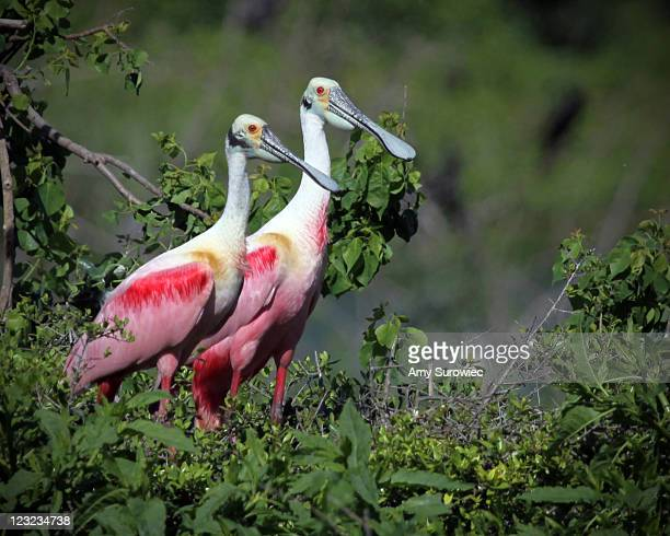 pair of roseate spoonbills - high_island stock pictures, royalty-free photos & images