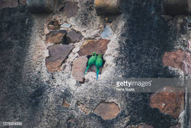 a pair of rose-ringed parakeets sitting on a weathered wall. - neha gupta stock pictures, royalty-free photos & images