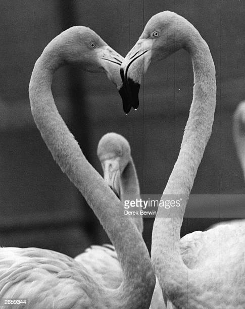A pair of Rosy flamingoes with their heads together in the shape of heart at Chessington zoo