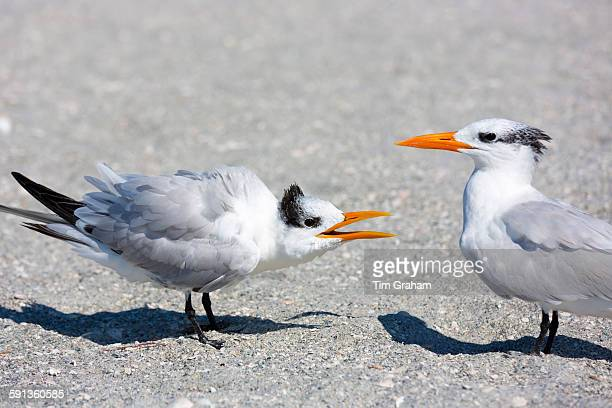 Pair of Royal Terns squabble in conversation one talking and the other listening on the beach at Captiva Island Florida USA