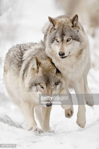 pair of running gray wolves (canis lupus), parc omega, quebec, canada - animal family stock pictures, royalty-free photos & images