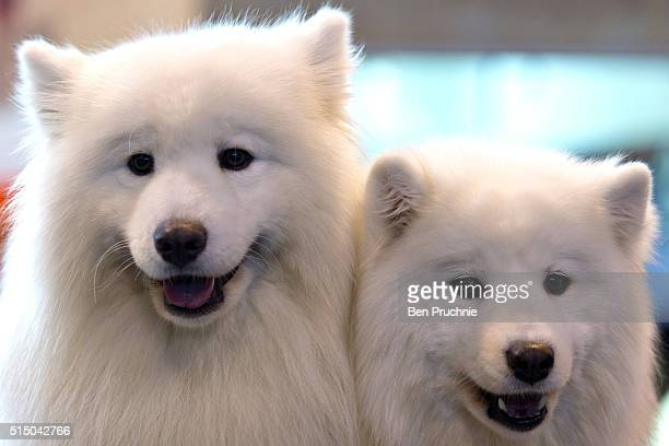 A pair of samoyed dogs sit on a preparation table on the third day of Crufts 2016 on March 12 2016 in Birmingham England First held in 1891 Crufts is...