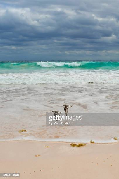 A pair of sanderlings (Calidris alba), Harbour Island, Eleuthera, Bahamas