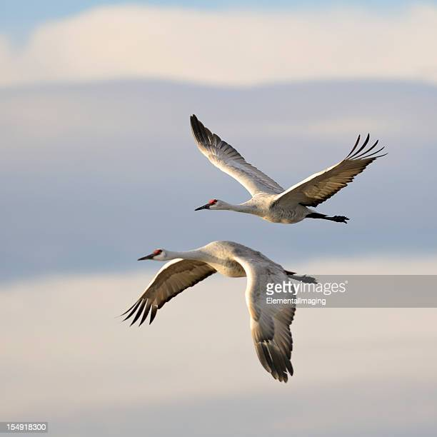 pair of sandhill cranes grus canadensis mid-flight - zeevogel stockfoto's en -beelden
