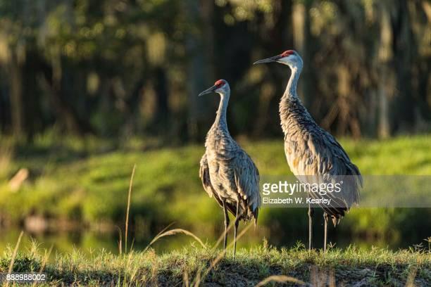 pair of sandhill cranes - crane bird stock photos and pictures