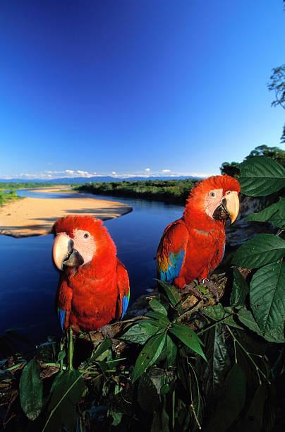Pair of Scarlet Macaws (Ara macao) near river