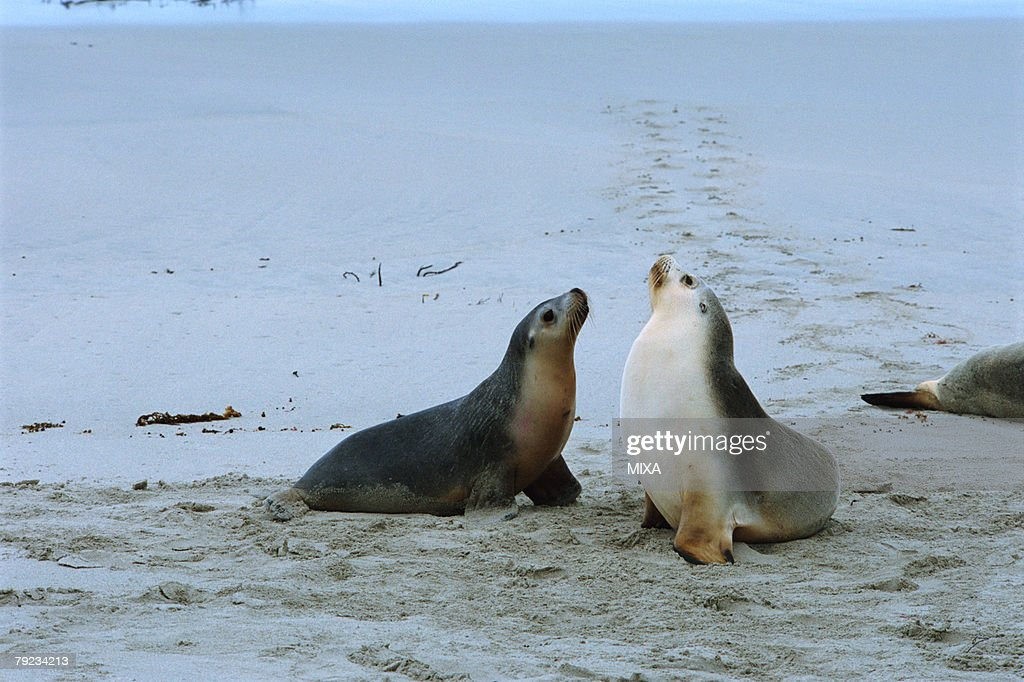 A pair of sea lions : Stock Photo
