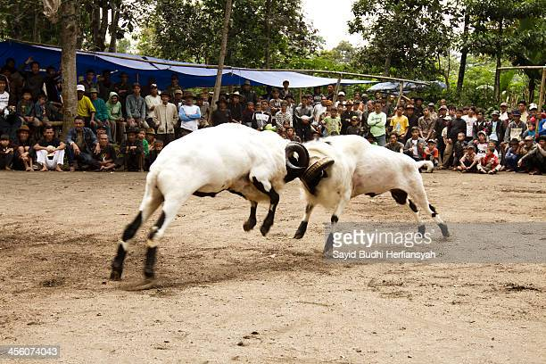 Pair of sheep hitting each other. Garut Sheep Fighting called 'Adu Domba' is a part of unique traditional competition of Sundanese people in Garut....