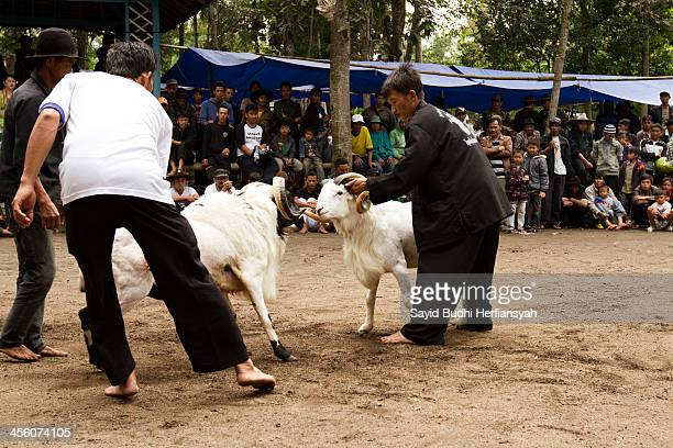 CONTENT] A pair of sheep hitting each other Garut Sheep Fighting called 'Adu Domba' is a part of unique traditional competition of Sundanese people...