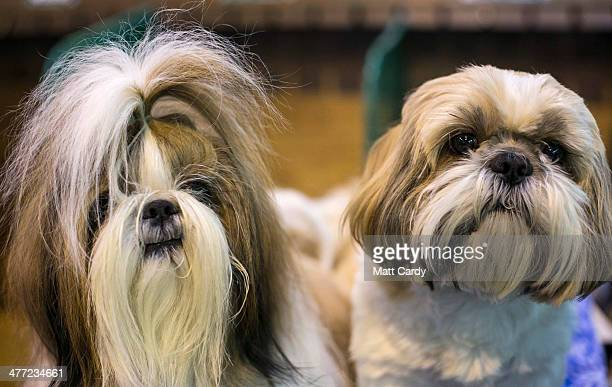 shih tzu stock photos and pictures getty images
