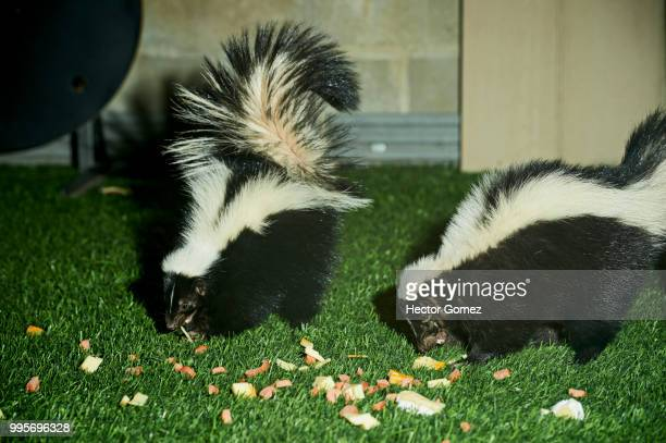 pair of skunks in  december - skunk stock photos and pictures